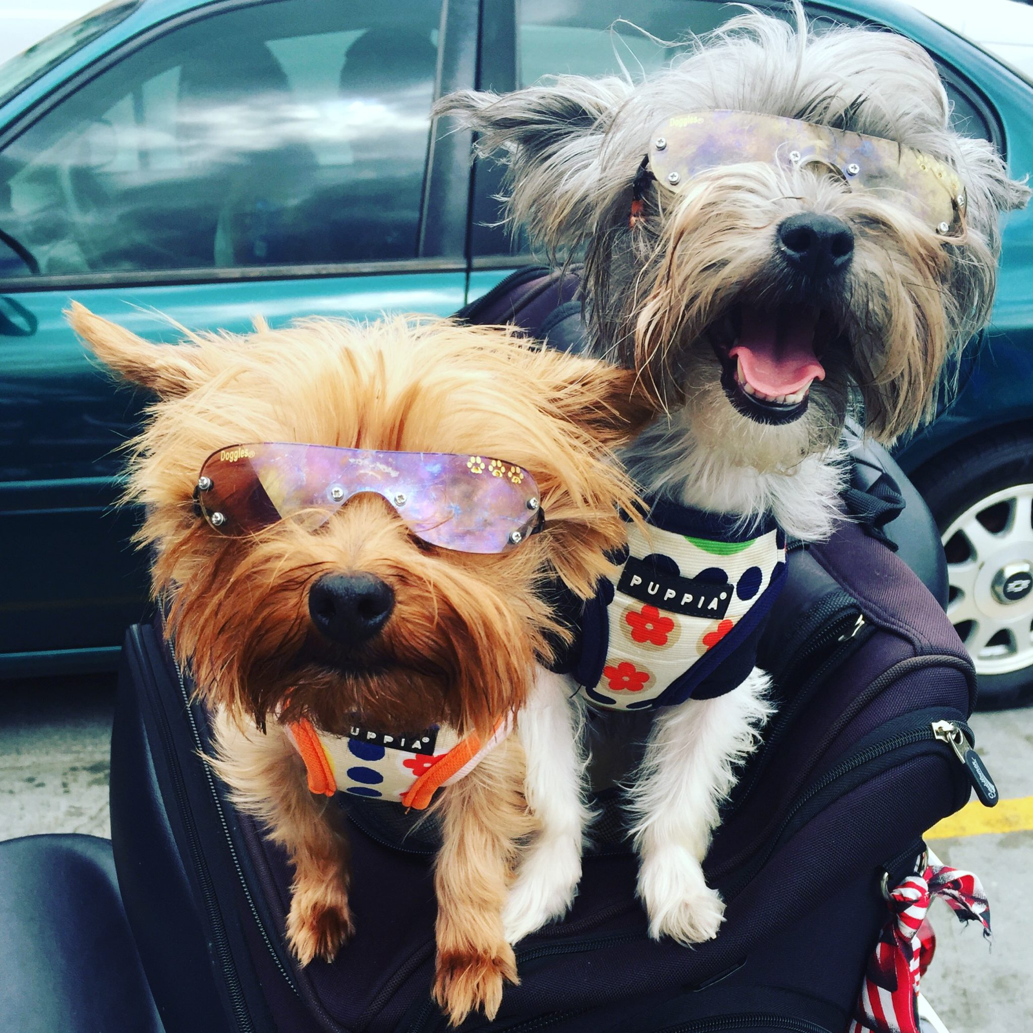 Sassy & Roxy Rock The Latest Doggie Eyewear!